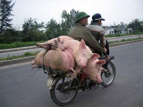 свин не могущий стать папой